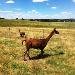 Shorn alpacas heading towards the dam!