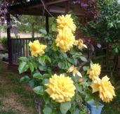 Yellow roses - love them!