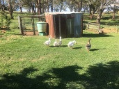 The geese have come back from their long holiday!