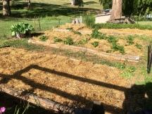 Vege garden beds mulched!